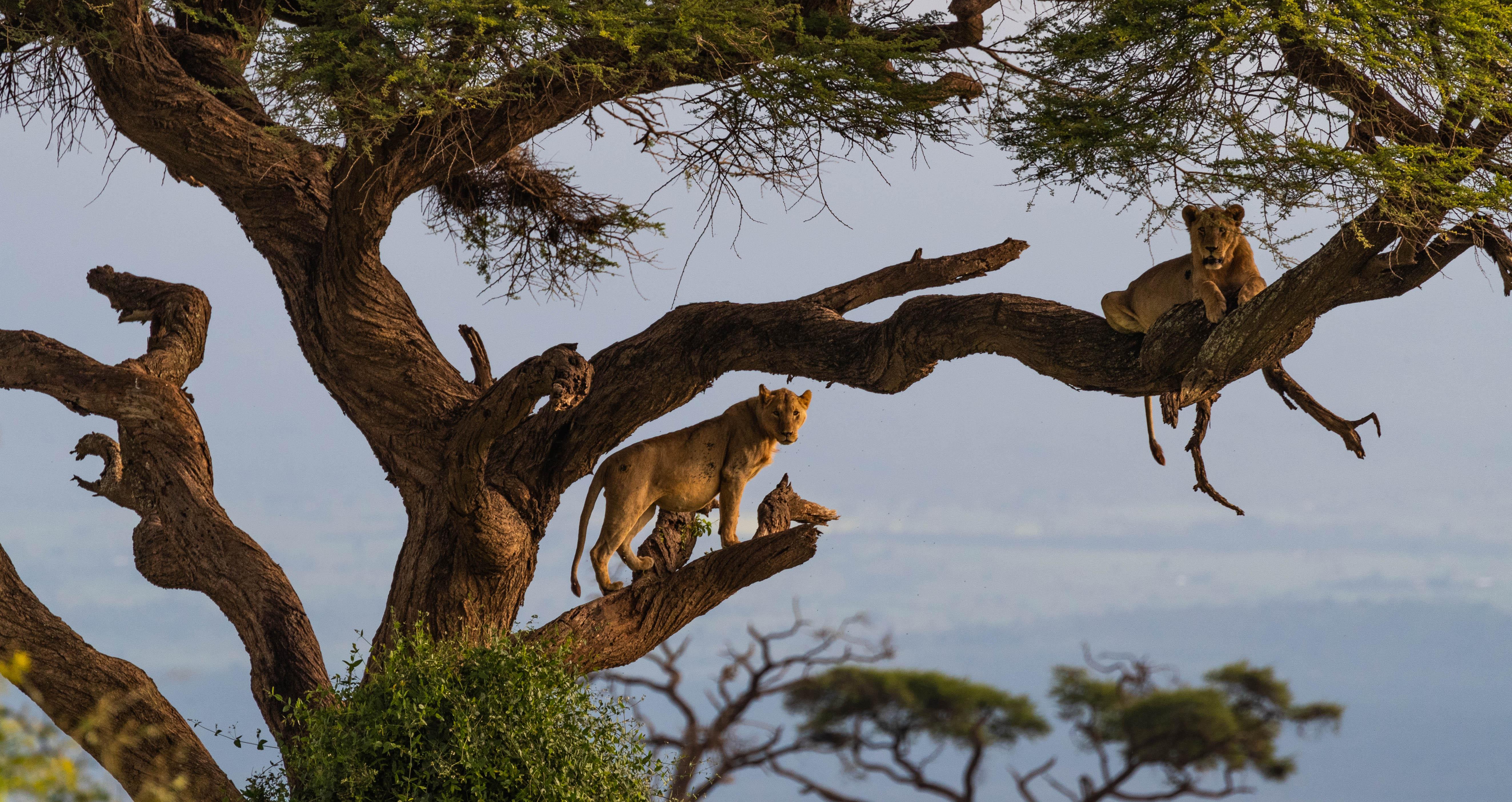 Lions Amboseli Safari